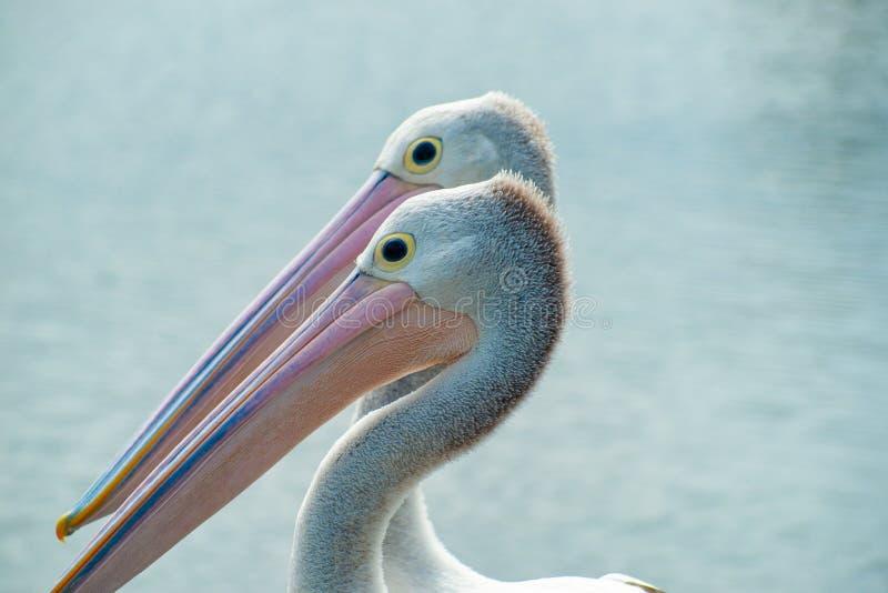 Pelicano australiano perto da água imagem de stock