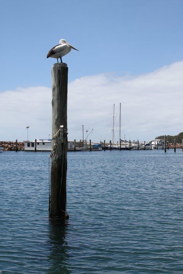 Download Pelicano De Austrlian (conspicillatus Do Pelecanus) Na Baía De Nelson Imagem de Stock - Imagem de oceano, pássaro: 29837725