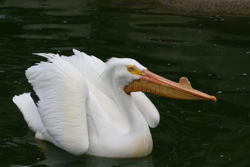 Pelicano branco imagens de stock royalty free