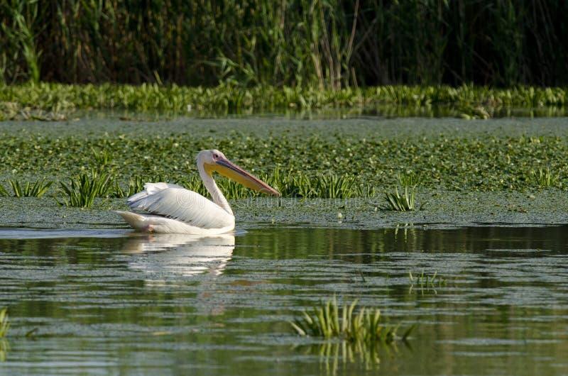 Download Pelicano branco foto de stock. Imagem de branco, majestoso - 26520300