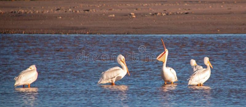 Pelicano branco americano que abre seu malote da garganta no Santa Clara River em Ventura California EUA fotos de stock royalty free