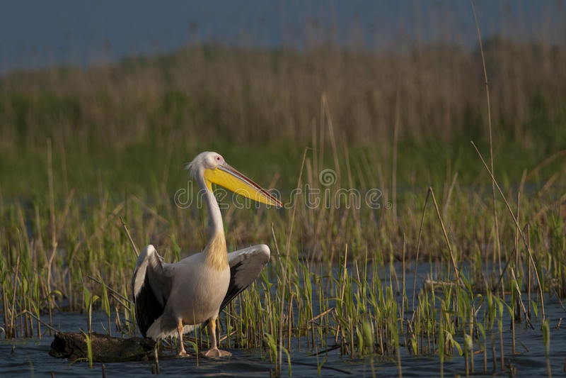 Download Pelicano Branco Em Um Registro Imagem de Stock - Imagem de branco, pena: 16851505