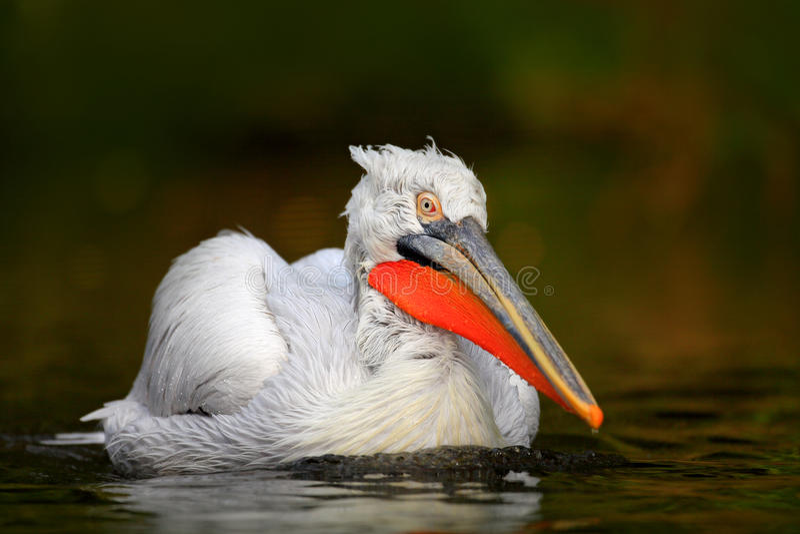 Pelicano branco, erythrorhynchos do Pelecanus, pássaro na água escura, habitat da natureza, Romênia Cena dos animais selvagens da imagem de stock
