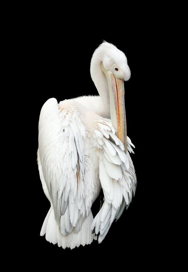 Pelicano branco isolado foto de stock