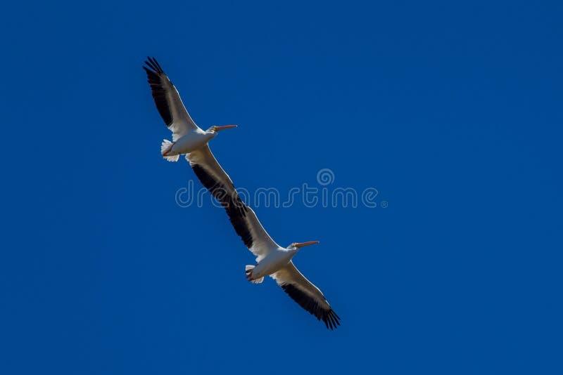 Pelicano branco/Pelecanus americanos Erythrorhynchos - Florida imagem de stock