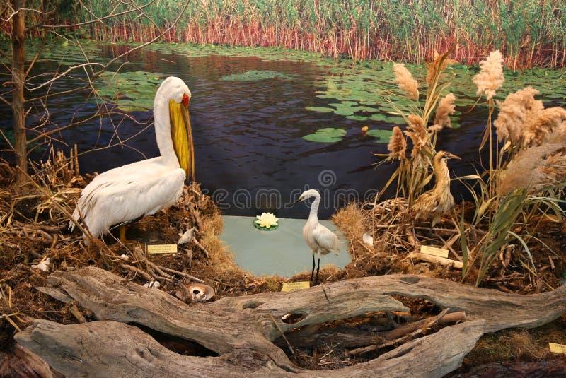 Pelicano comum perto do egret pequeno e da água-mãe imagens de stock royalty free