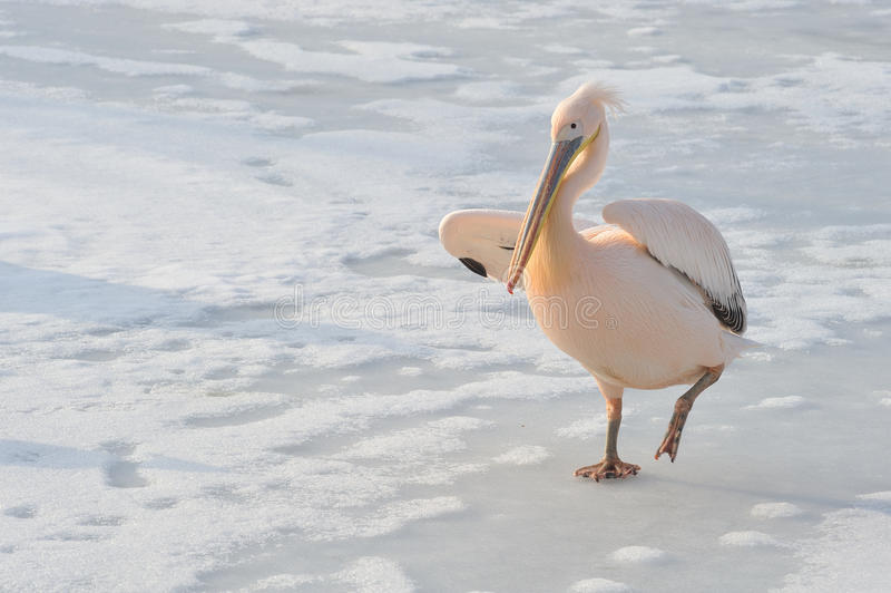 Pelicano cor-de-rosa imagem de stock