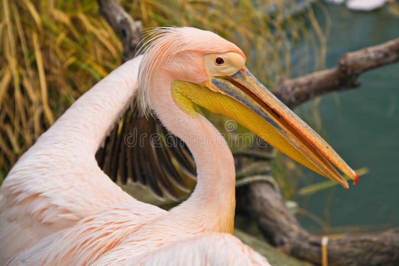 Pelicano cor-de-rosa foto de stock
