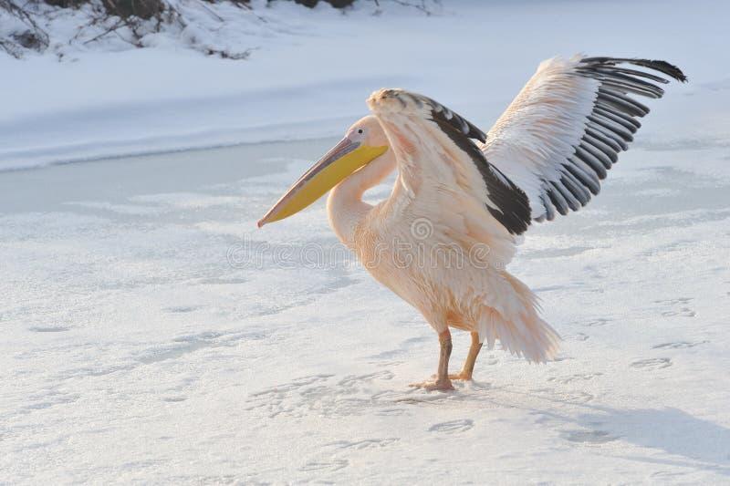 Pelicano cor-de-rosa no inverno imagem de stock