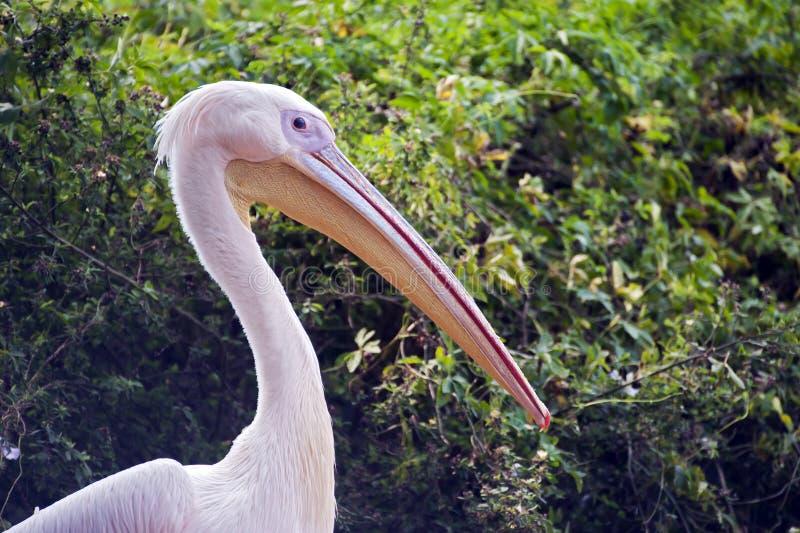 Download Pelicano Cor-de-rosa-suportado Foto de Stock - Imagem de rosa, fauna: 65575368