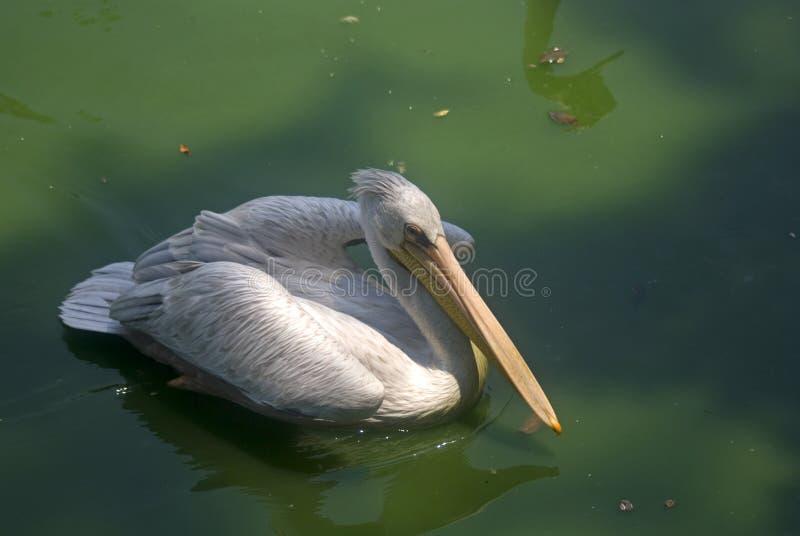 pelicano Cor-de-rosa-suportado, Butterworth, Malásia fotografia de stock royalty free