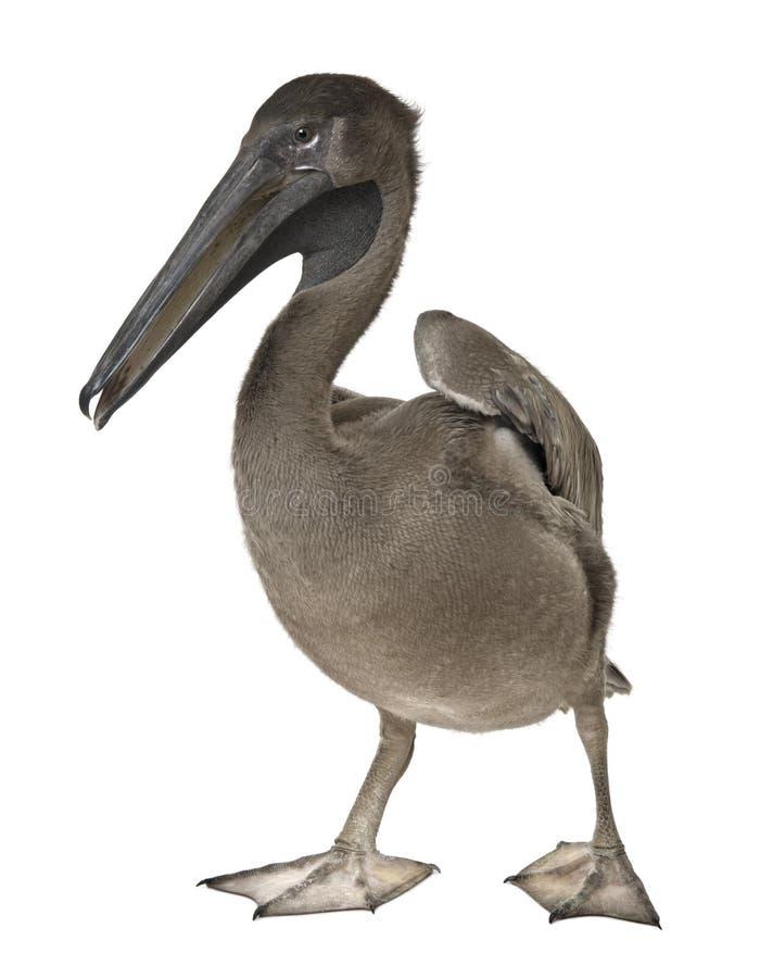 Pelicano cor-de-rosa-suportado novo, 2 meses velho, posição fotografia de stock