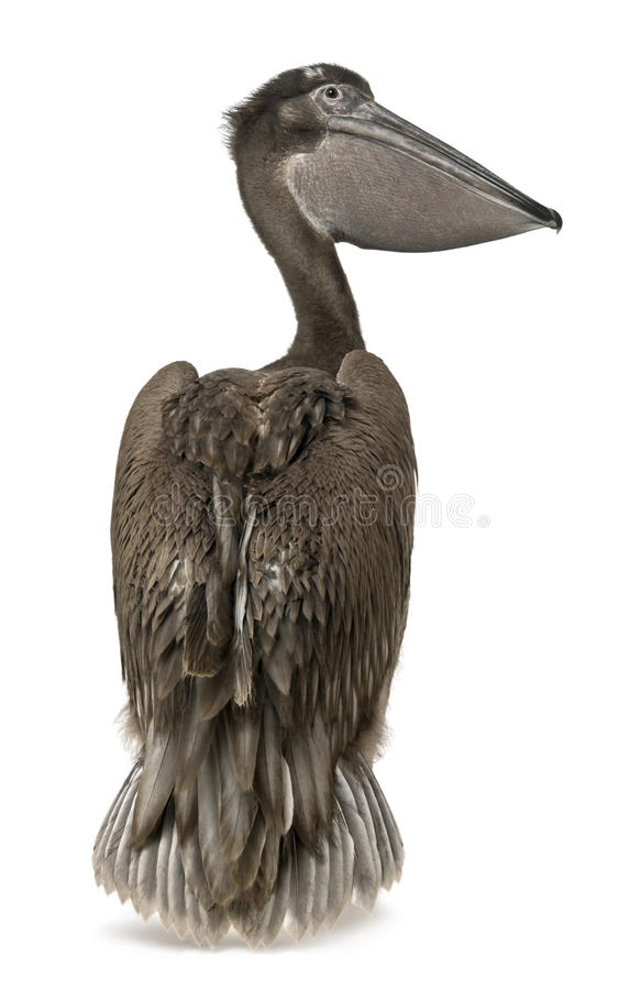 Pelicano cor-de-rosa-suportado novo, 2 meses velho, posição fotos de stock royalty free