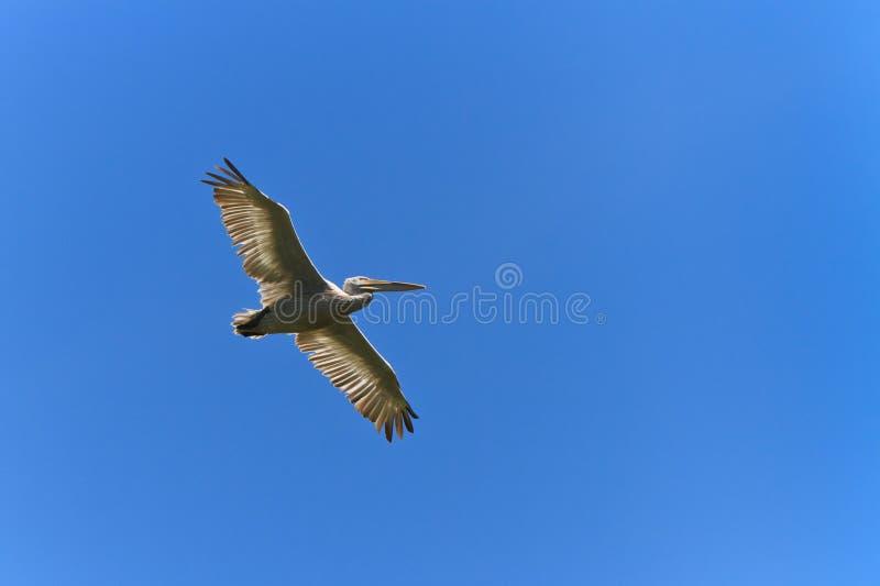 Download Pelicano Dalmatian (crispus Do Pelecanus) Foto de Stock - Imagem de pena, animal: 26520200