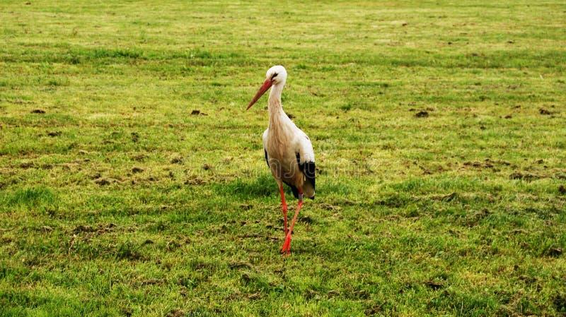 Pelicano de Alsácia imagem de stock royalty free