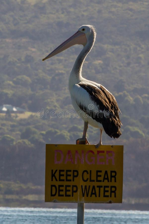 Pelicano de Austrália/Pelecanus Conspicillatus imagens de stock royalty free