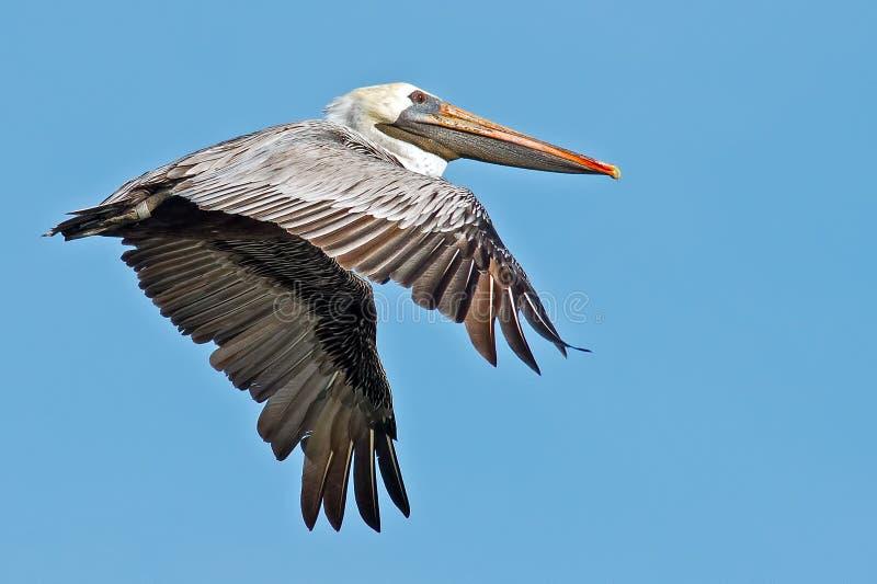 Pelicano de Brown fotografia de stock