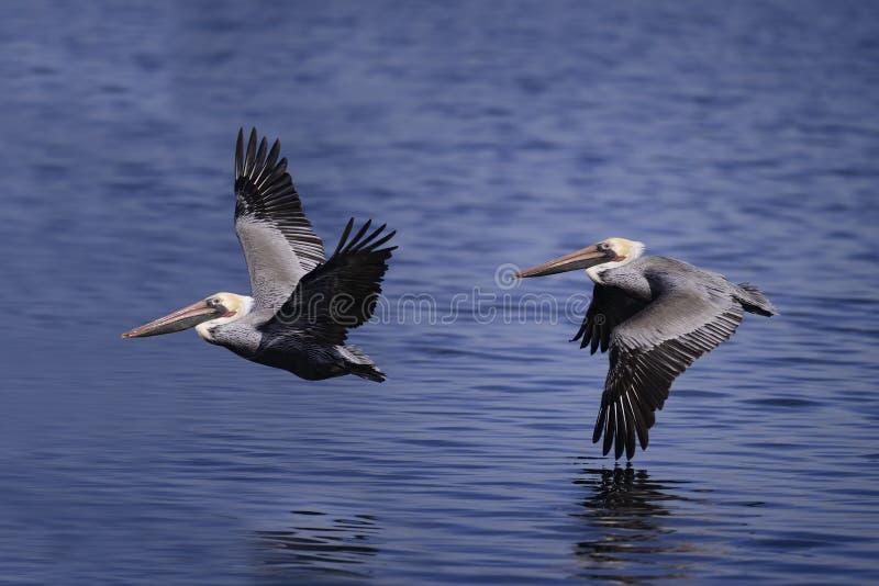 Pelicano de Brown imagens de stock royalty free