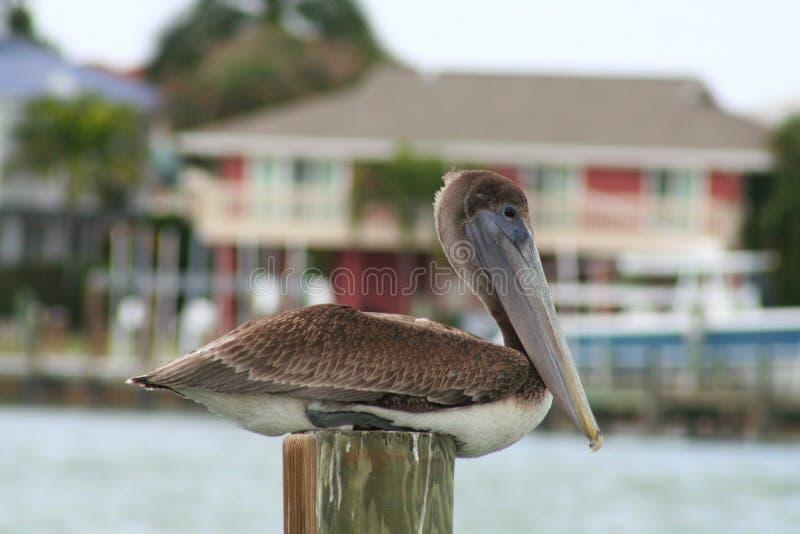 Pelicano de Brown, Florida, EUA foto de stock