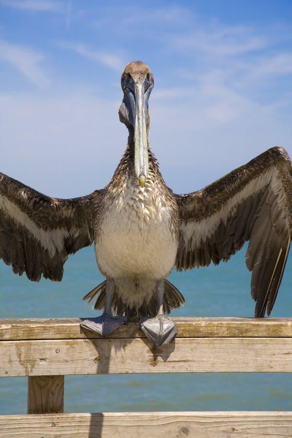 Pelicano de Brown no cais na praia de Jacksonville, Florida, EUA, imagem de stock