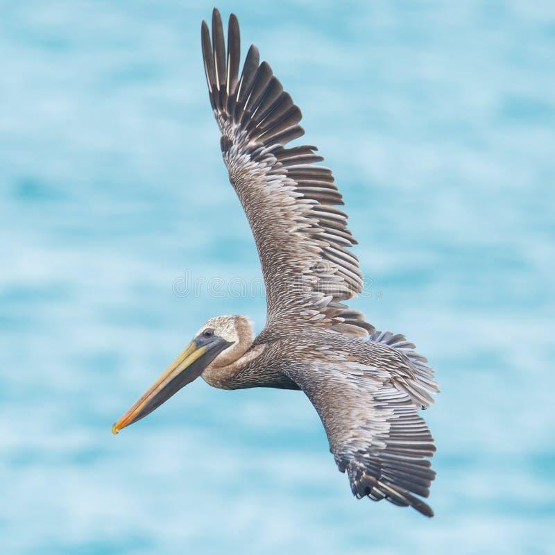 Pelicano de Brown (occidentalis do Pelecanus) fotos de stock