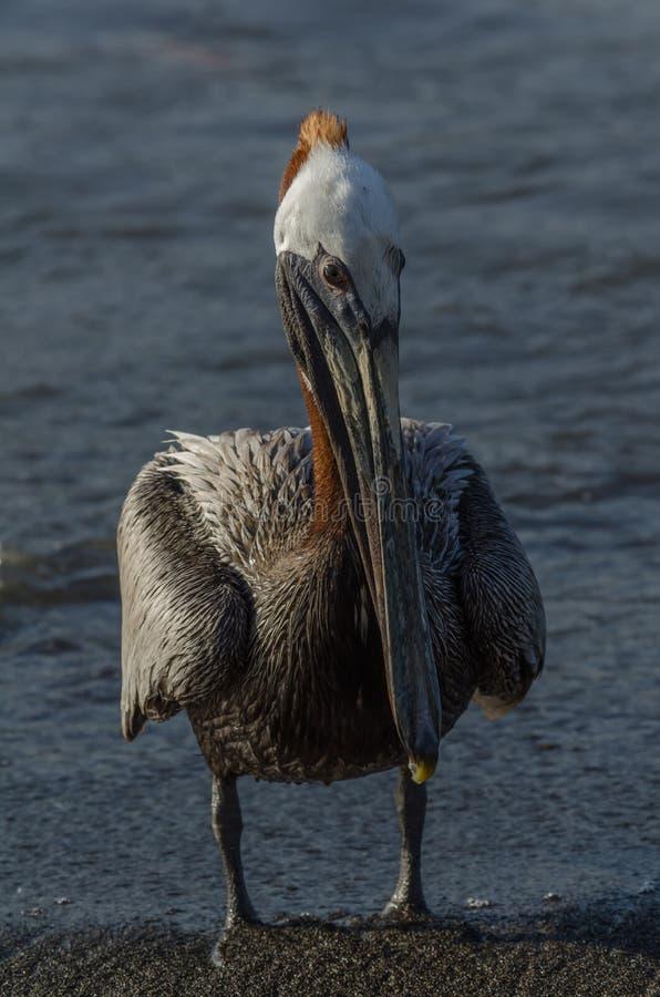Pelicano de Brown (occidentalis do pelecanus) foto de stock