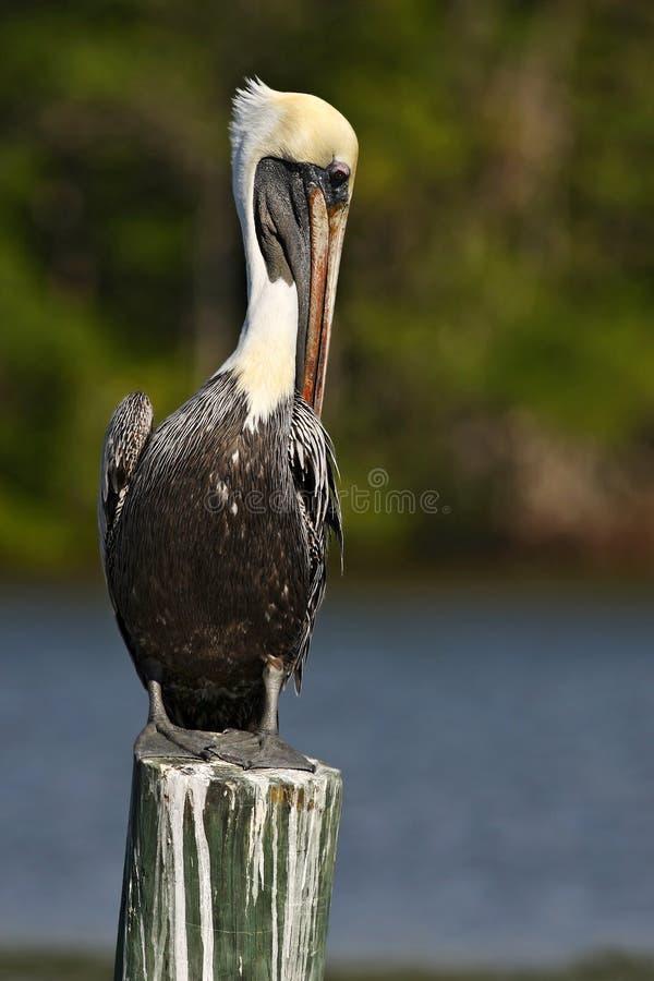 Pelicano de Brown, occidentalis do Pelecanus, Florida, EUA Pássaro que senta-se no coto de árvore acima da água Pássaro de mar no foto de stock royalty free