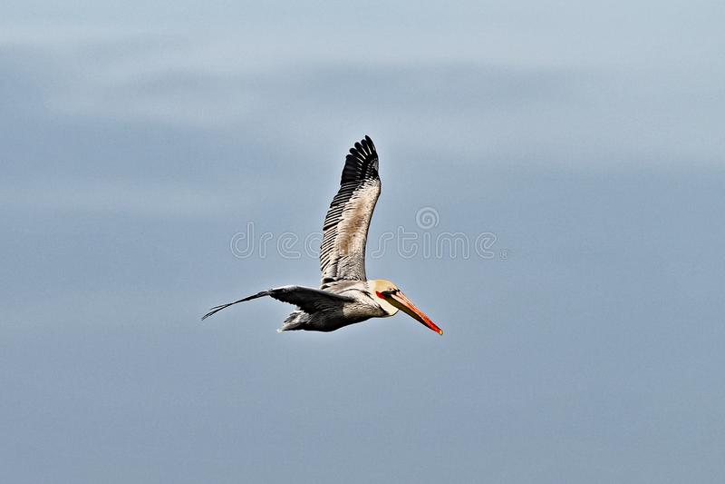 Pelicano de Brown ou occidentalis do Pelecanus que produzem o adulto foto de stock