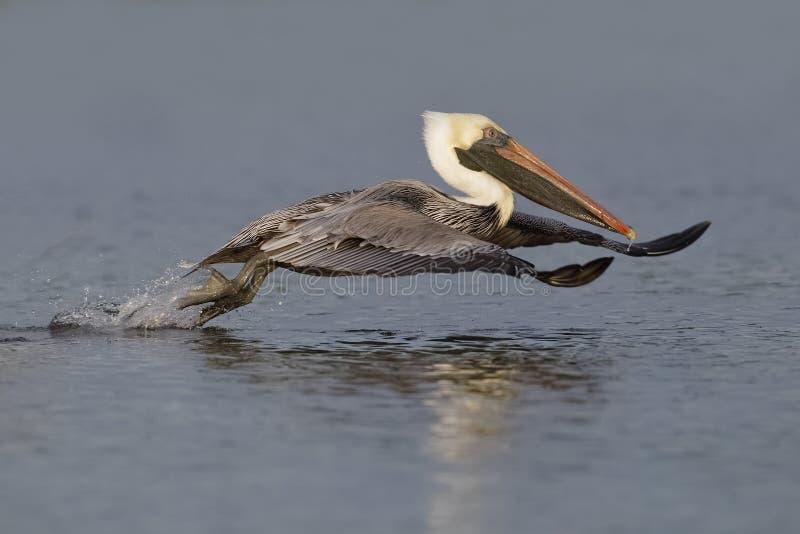 Pelicano de Brown que toma o voo de uma lagoa - Forte De Soto Parque, F fotografia de stock royalty free