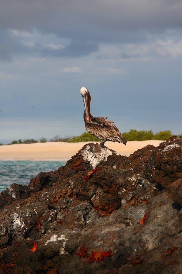 Pelicano de Galápagos imagem de stock royalty free