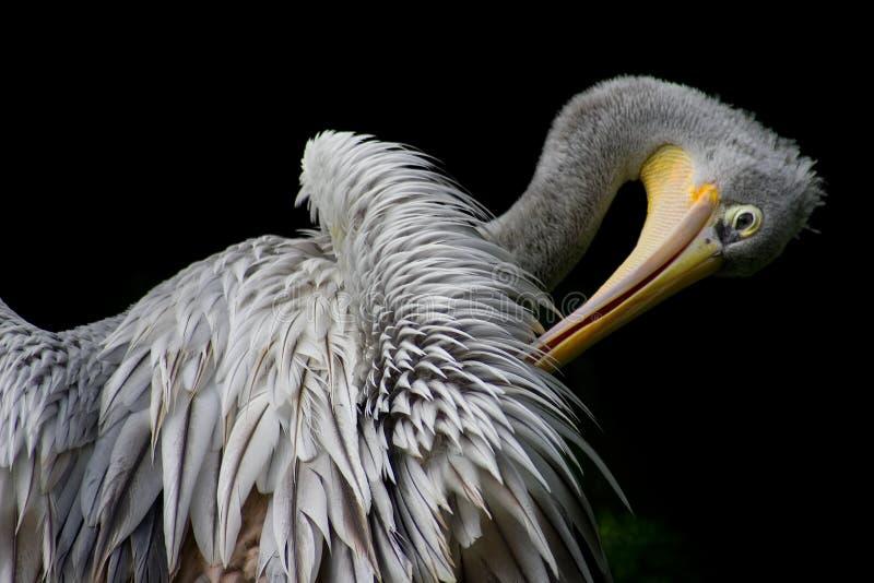 Pelicano de lustro fotografia de stock