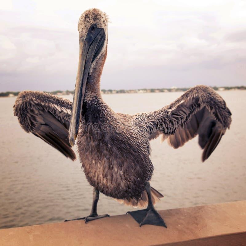Pelicano do vintage