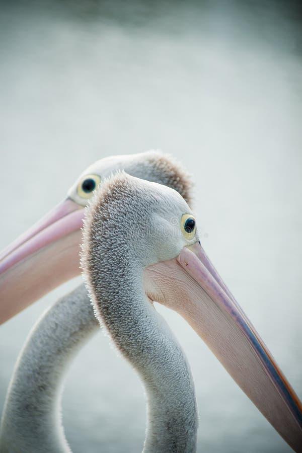 Pelicano dois foto de stock royalty free