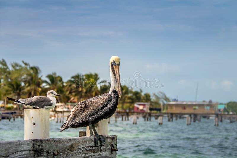 Pelicano e gaivota de riso nova que estão em um cais - calafate de Caye, Belize imagem de stock