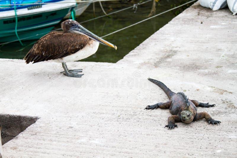 Pelicano e iguana de Galápagos imagens de stock