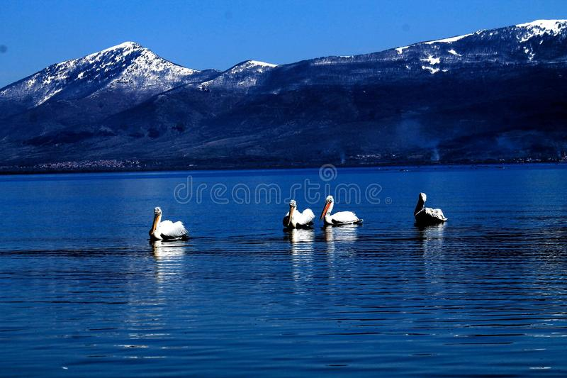 Pelicano em Prespa imagens de stock royalty free