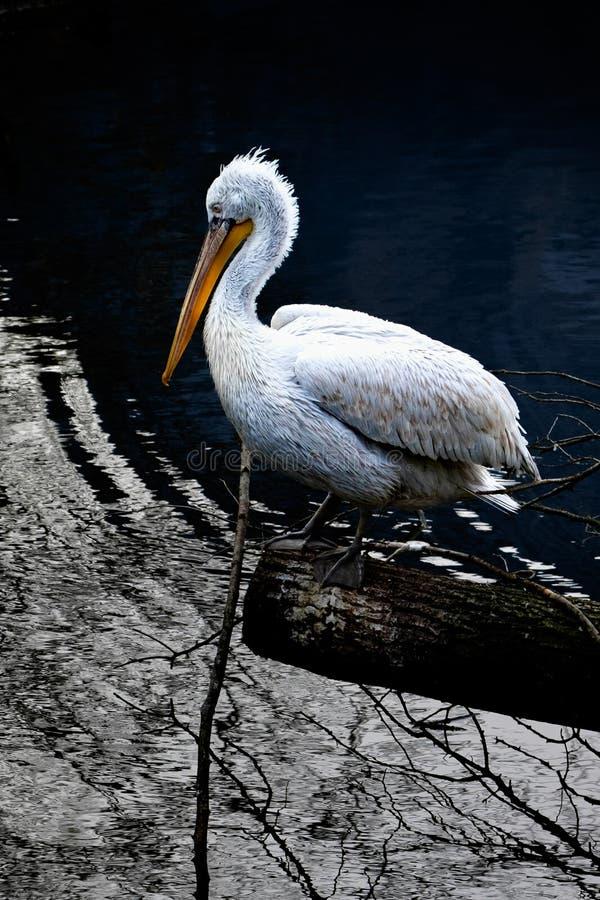 Pelicano em um coto de árvore fotos de stock royalty free