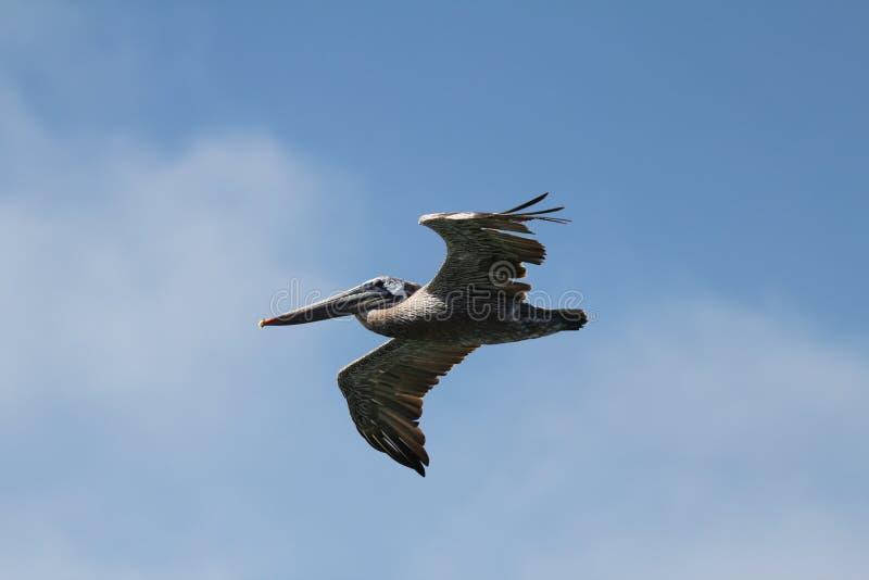 Pelicano em voo imagem de stock royalty free