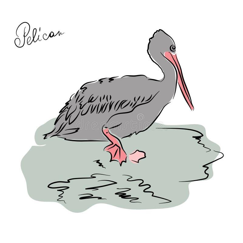 Pelicano Esboço do pássaro tirado à mão ilustração stock