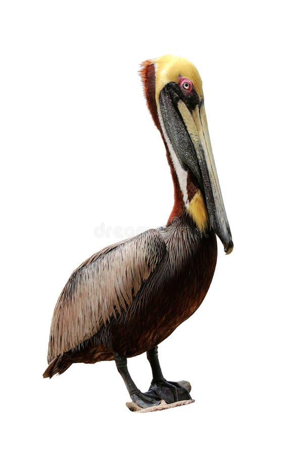 Pelicano isolado de Brown, occidentalis do pelecanus foto de stock