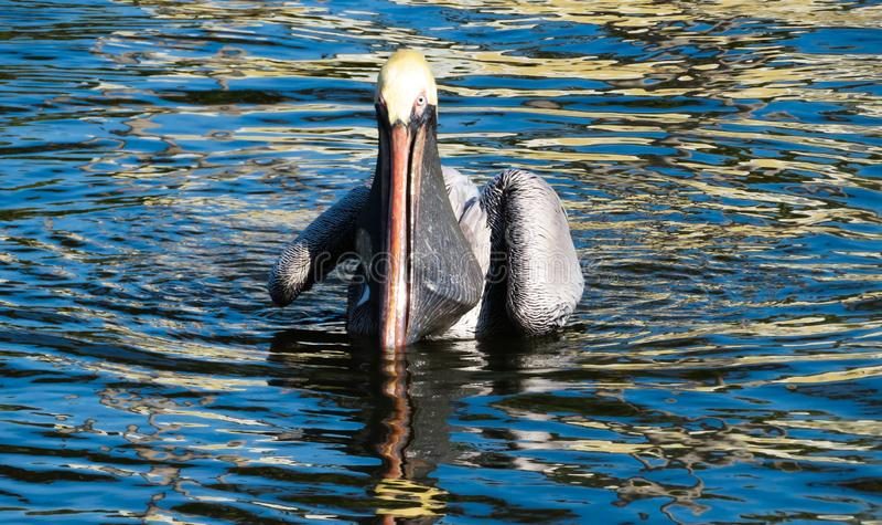 Pelicano na água após ter travado um peixe fotos de stock