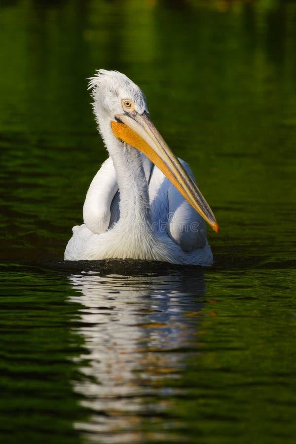 Pelicano na água verde Pelicano branco, erythrorhynchos do Pelecanus, pássaro na água escura, habitat da natureza, Romênia Pássar imagens de stock