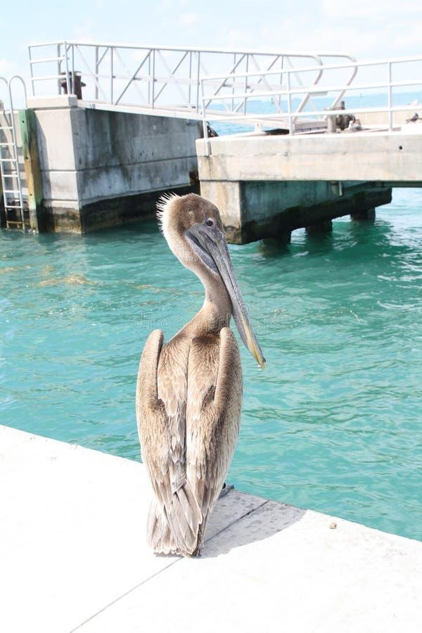 Pelicano na plataforma foto de stock