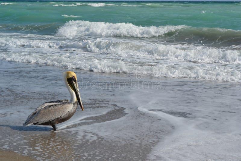 Pelicano na praia de florida fotografia de stock royalty free