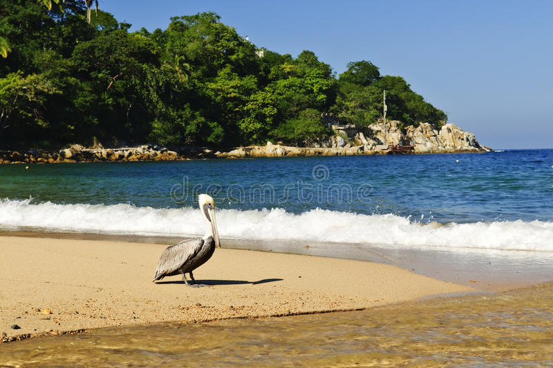 Pelicano na praia em México imagem de stock royalty free
