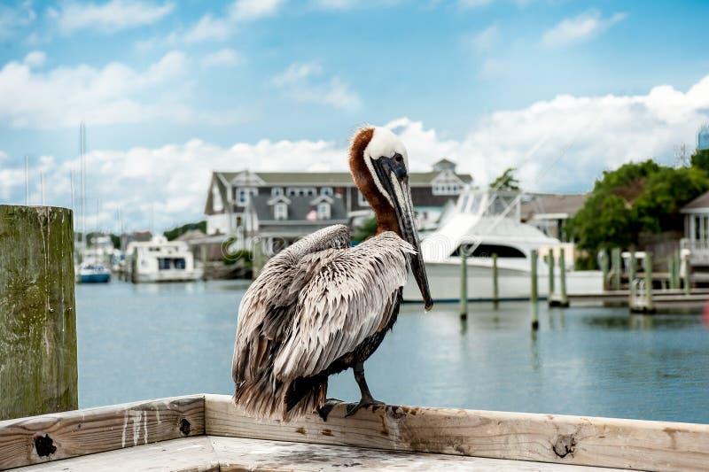 Pelicano no cais imagem de stock royalty free