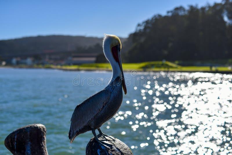 Pelicano no cais de San Francisco imagens de stock royalty free