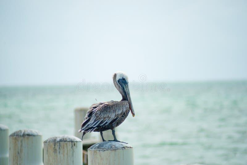 Pelicano no cargo do cais imagem de stock