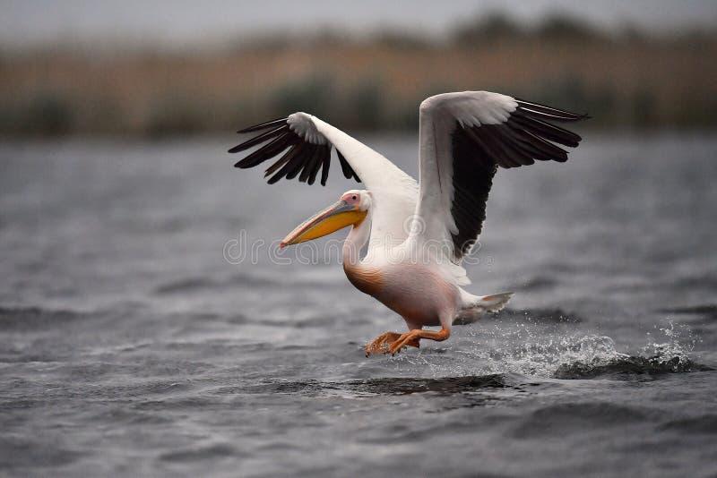 Pelicano no delta de Danúbio foto de stock