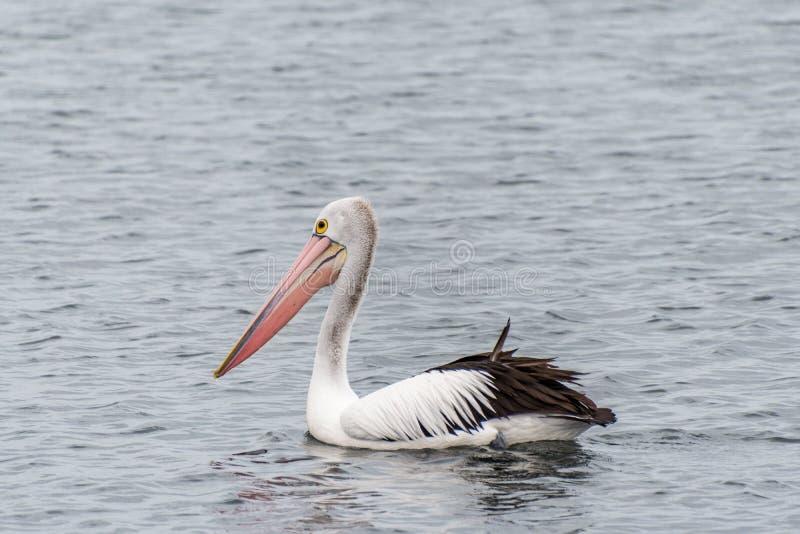 Pelicano no foreshore na praia Austrália de Rockingham imagens de stock royalty free